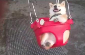 Shiba Inu Having A Blast At The Playground