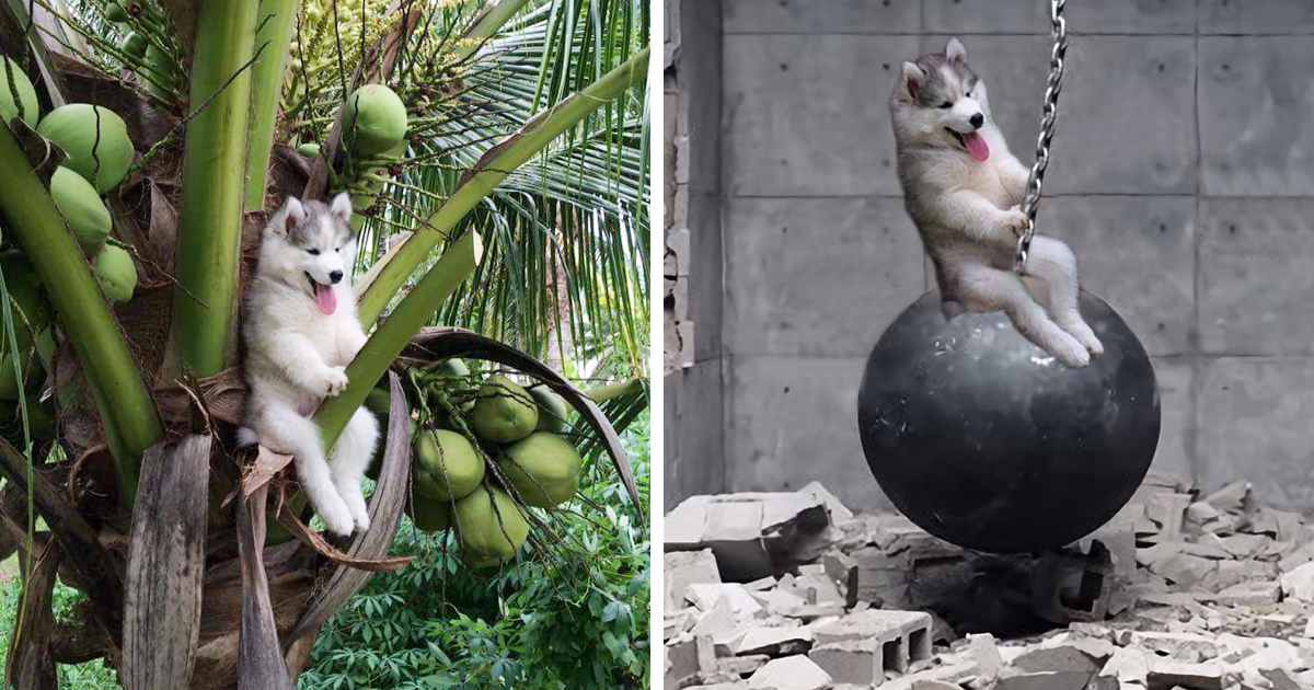 Husky Gets Stuck On Coconut Tree - crazy photoshop