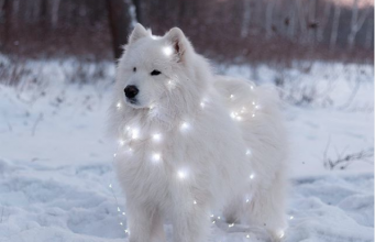 Perfect Shots Of Samoyeds Just Being Adorable