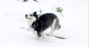 Husky puppies enjoying snow
