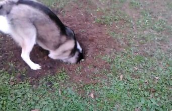 stop your husky from digging around