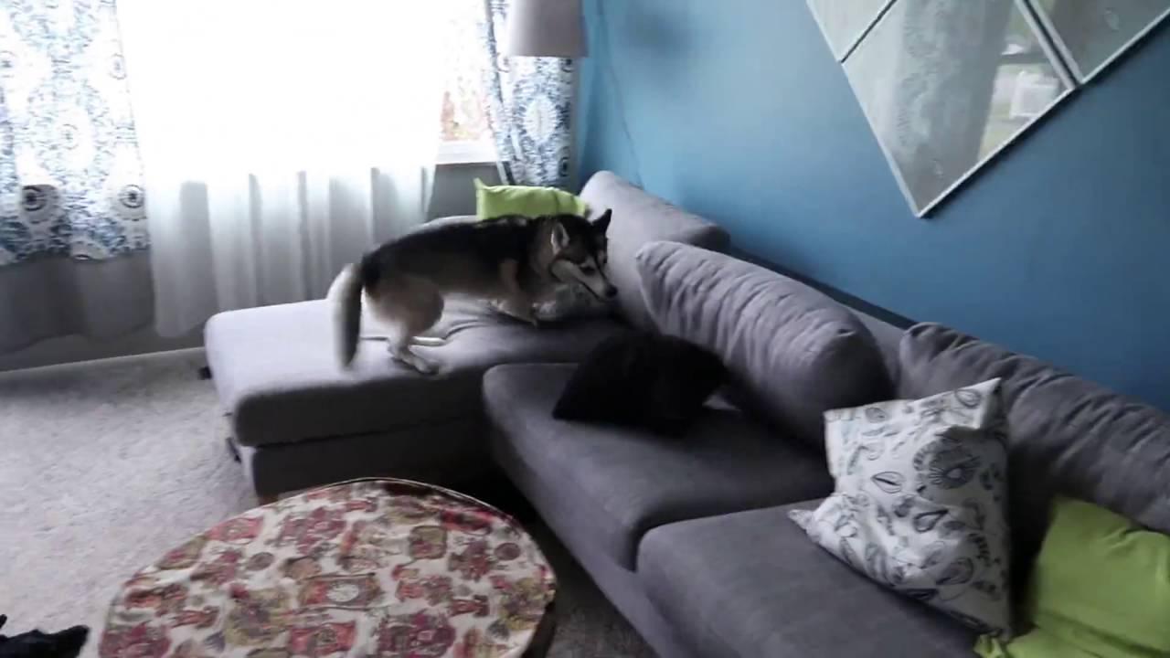 Husky Starts Acting Insanely Inside The House