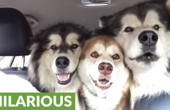 malamutes singing in the car