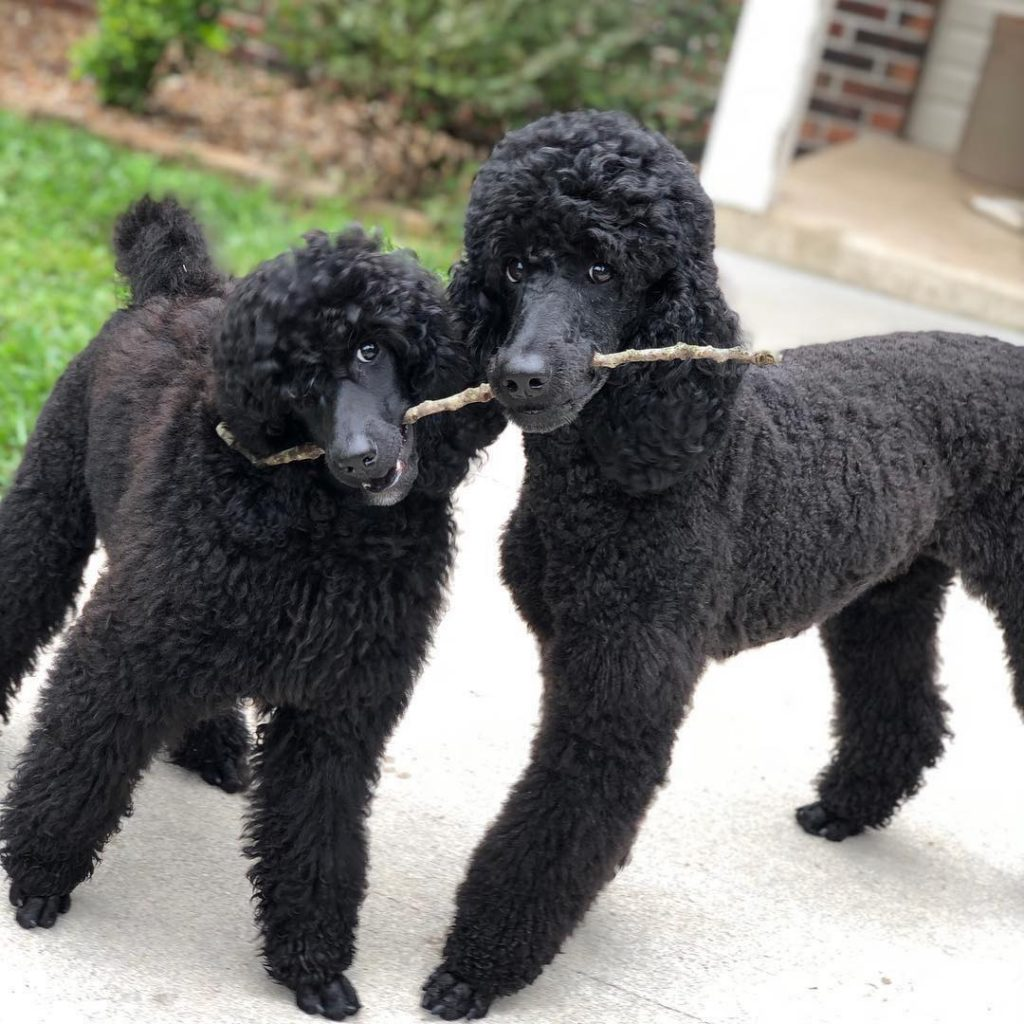 Poodle Dog Breed Information And Pictures All About