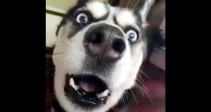 Husky Watches An Action Movie & Tries To Imitate The Sounds Of A Speeding Car