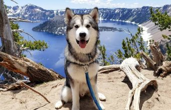 A hero of many, Alaskan Malamute has faced many challenges during his life process. Therefore, he is considered one of the most needed dogs for us.