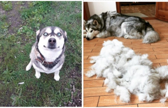 Alaskan Malamute pictures to cheer you up
