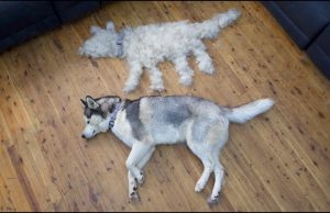 "Husky Shedding | ""Husky Have two coat"""