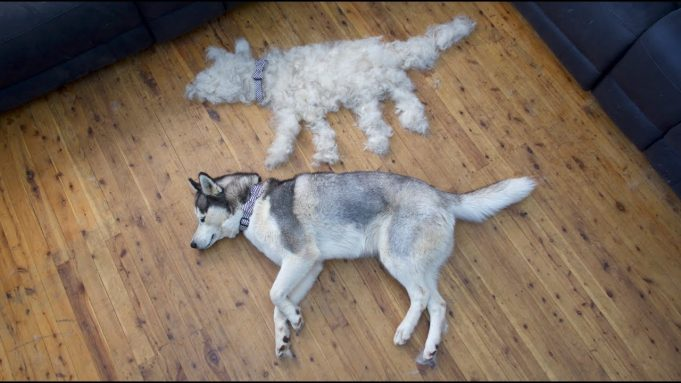 "Husky Shedding | ""Husky Have two coat"""