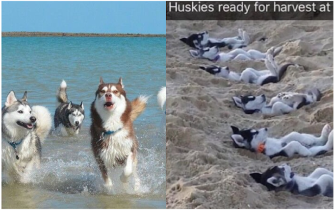 Funny Things Your Husky Will Do At The Beach