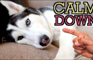 Keep your dog calm around visitors