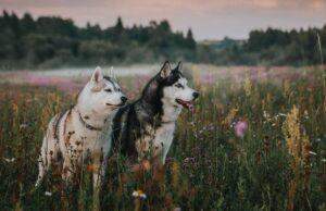 Siberian huskies main differences