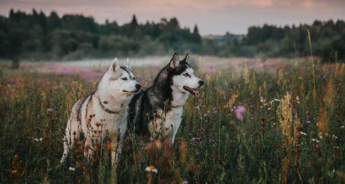 Siberian huskies main differences
