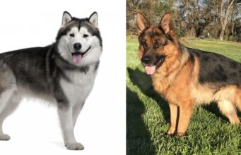 The Difference Between Alaskan Malamute And German Shepherd