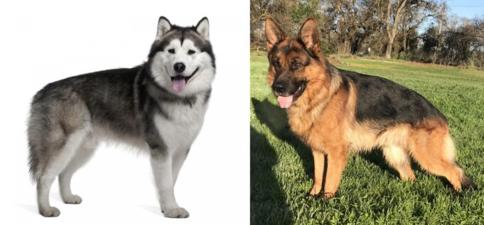 The Difference Between Alaskan Malamute And German Shepherd