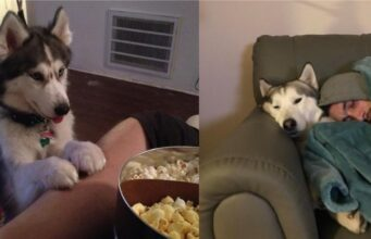 Adorable Signs That Show Your Husky Sees You As His Pack Leader