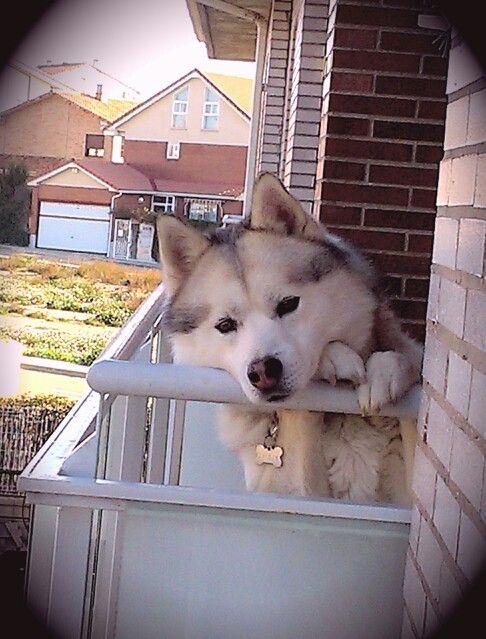 Huskies enjoying the balcony view