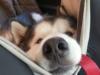 husky thinks he's the boss