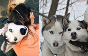 Moments Of Love Only A Husky Can Understand