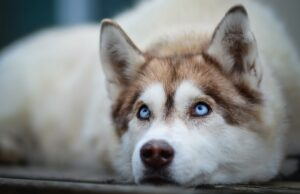 Your Husky Is Secretly Saying 'I Love You'