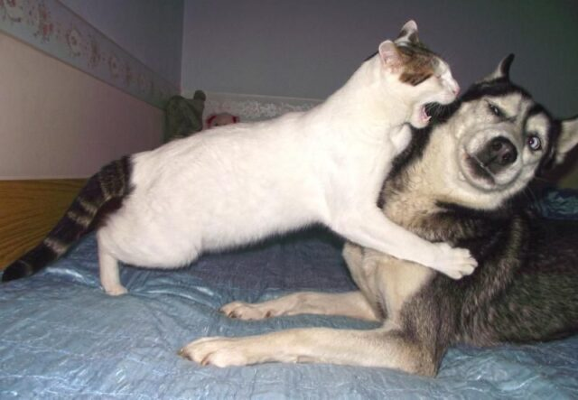 Funny Pictures Of How Huskies Get Along With Other Pets