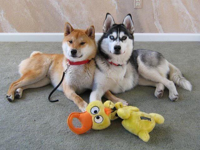 How Huskies Get Along With Other Pets