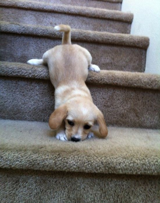 Puppies Trying to Climb Up A Step