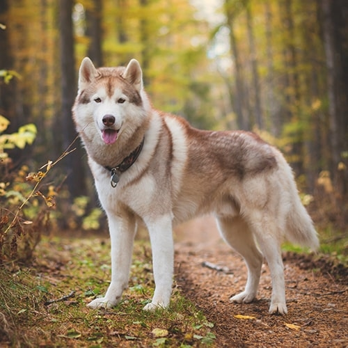 Why Your Husky Runs Away
